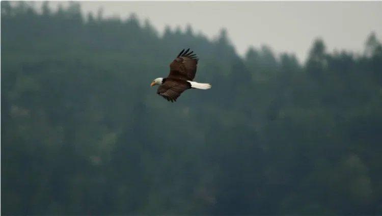 Чтобы сделать снимок белоголового орлана в правильном свете, требуется терпеливый взгляд. Video by Mark O'Connell.